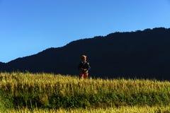 Jen Bai Wietnam, Sep, - 18, 2017: Tarasowaty ryżu pole w żniwo sezonie z mniejszości etnicznej kobietą na polu w Mu Cang Chai, Vi Obrazy Royalty Free