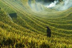 Jen Bai Wietnam, Sep, - 18, 2017: Tarasowaty ryżu pole w żniwo sezonie z mniejszości etnicznej kobietą na polu w Mu Cang Chai, Vi Zdjęcie Royalty Free