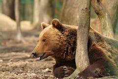 Jena Brown niedźwiedź zdjęcia royalty free