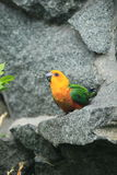 Jenday conure Stock Image