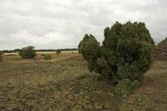 Jeneverbes gemensam en, communis Juniperus royaltyfria foton