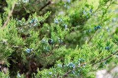 Jeneverbes met bessen dichte omhooggaand van de thuja altijdgroene naaldboom royalty-vrije stock fotografie