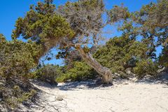 Jeneverbes op het woestijneiland Chrissi, beschermd gebied, Griekenland stock afbeelding
