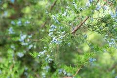 Jeneverbessentak met bessen dichte omhooggaand van de thuja altijdgroene naaldboom stock afbeelding
