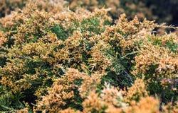 Jeneverbessentakken met veel gele stuifmeel-producerende mannelijke kegel Stock Fotografie