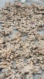 Jengibre crudo en la tierra Foto de archivo