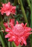 Jengibre rojo de la antorcha de la flor Imágenes de archivo libres de regalías