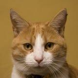 Jengibre y gato blanco Imágenes de archivo libres de regalías