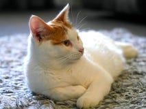 Jengibre y gato blanco Imagen de archivo libre de regalías