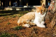 Jengibre y gato mullido blanco que toman una siesta en la tierra debajo del árbol imagen de archivo
