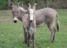 Jenny And Baby Jack Mini Donkeys Royalty Free Stock Images