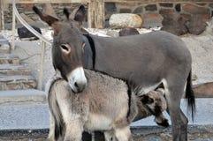 Jenny en Veulen Stock Afbeelding