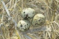 Jerarquía común de la golondrina de mar (hirundo de los esternones) con los huevos Foto de archivo libre de regalías