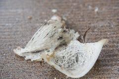 Jerarquía comestible cruda del pájaro Imagenes de archivo