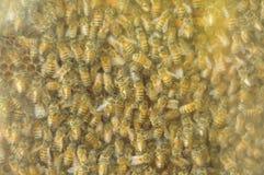 jerarquía de abejas Imágenes de archivo libres de regalías