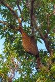 Jerarquía de abejas salvajes en árbol de mango Fotos de archivo