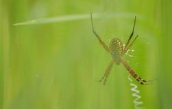 Jerarquía de arañas fotografía de archivo