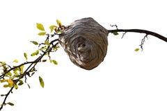 Jerarquía de la abeja Imagen de archivo libre de regalías