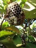 Jerarquía de la abeja con dos abejas en las ramas de Bush Fotos de archivo