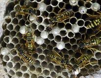 Jerarquía de la avispa con las avispas que se sientan en ella Fotos de archivo