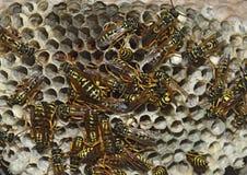Jerarquía de la avispa con las avispas que se sientan en ella Imagen de archivo libre de regalías