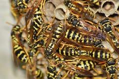 Jerarquía de la avispa con las avispas que se sientan en ella Polist de las avispas la jerarquía de una familia de avispas que se Fotos de archivo