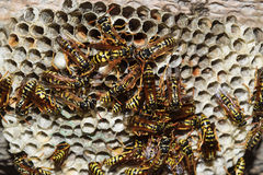 Jerarquía de la avispa con las avispas que se sientan en ella Polist de las avispas la jerarquía de una familia de avispas que se Imágenes de archivo libres de regalías