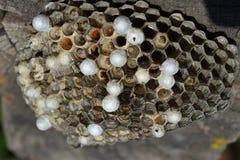 Jerarquía de la avispa con las avispas que se sientan en ella Polist de las avispas la jerarquía de una familia de avispas que se Foto de archivo libre de regalías