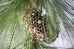 Jerarquía de la avispa en el árbol Imagenes de archivo