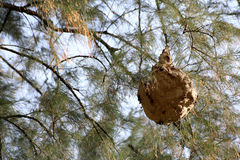 Jerarquía de la avispa en el árbol de pino Imagenes de archivo