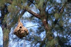 Jerarquía de la avispa en el árbol de pino Imágenes de archivo libres de regalías
