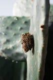 Jerarquía de la avispa en un cactus Imagen de archivo