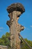 Jerarquía de la cigüeña en la parte superior del árbol seco viejo Fotos de archivo libres de regalías