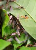 Jerarquía de la hormiga Imagen de archivo