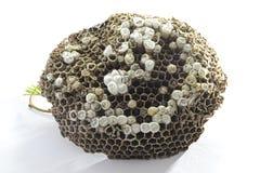 jerarquía de las abejas Imagen de archivo