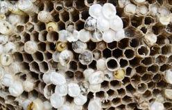 jerarquía de las abejas Fotos de archivo libres de regalías