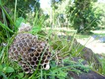 Jerarquía de las abejas de Drien en una hierba verde Foto de archivo libre de regalías