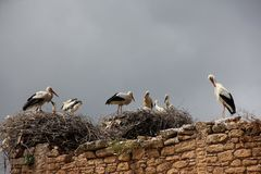 Jerarquía de las cigüeñas blancas Fotografía de archivo libre de regalías