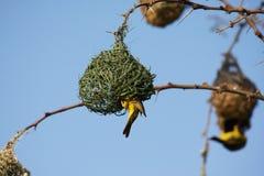 Jerarquía de los pájaros del tejedor Imagen de archivo