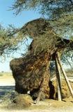 Jerarquía de los tejedores, parque nacional de Etosha, Namibia Imagen de archivo libre de regalías