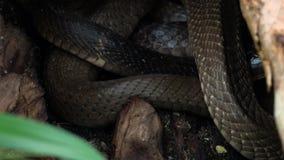 Jerarquía de serpientes con las cobras reales negras almacen de metraje de vídeo