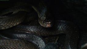 Jerarquía de serpientes con las cobras reales negras almacen de video