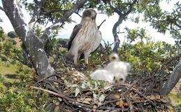 Jerarquía del águila con una calzada y los pollos Fotografía de archivo libre de regalías