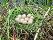 Jerarquía del ganso de Canadá con los huevos Imagen de archivo