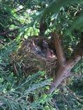 ¡Jerarquía del mirlo con el pájaro de bebé cuatro!!! ¡Comida que espera!! Imagen de archivo libre de regalías