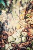 Jerarquía del pájaro con el huevo en arbusto con el flor de la primavera, cierre para arriba, bokeh Tarjeta de felicitación de Pa Imágenes de archivo libres de regalías