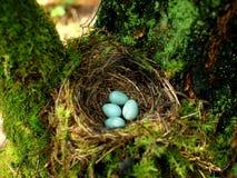 Jerarquía del pájaro con los huevos en el bosque Fotos de archivo