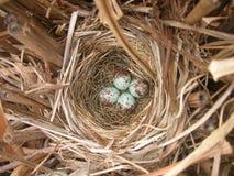 Jerarquía del pájaro del petirrojo con cuatro huevos Imágenes de archivo libres de regalías
