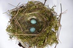 Jerarquía del pájaro del Dunnock y huevos azules fotos de archivo libres de regalías