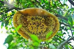 Jerarquía del ` s del panal o de la abeja en jardín anaranjado orgánico Foto de archivo